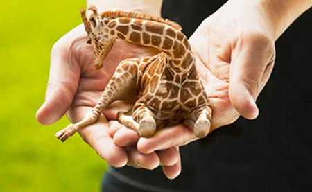 Petite-lap-giraffe